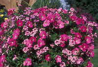 Annuals: Verbena with Petunia & Brachyscome in hanging container