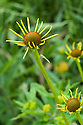 Echinacea paradoxa, end June.