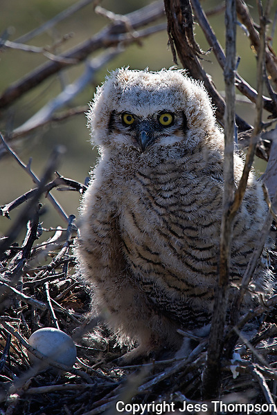 Immature Great Horned Owl, unhatched egg still in nest, Colorado roadside