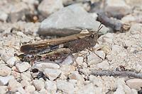 Braune Strandschrecke, Aiolopus strepens, Broad Green-winged Grasshopper, Grasshopper, l'Oedipode automnale, Le Criquet farouche, L' Aiolope automnale
