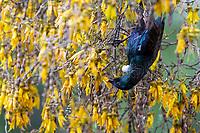 Tui (Prosthemadera novaeseelandiae novaeseelandiae) foraging in a tree in Queens Park, Invercargill, Southland, New Zealand.