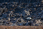 Polar bear (Ursus maritimus) amongst the rocks in Butterfly Bay, Nunavut, Canada.
