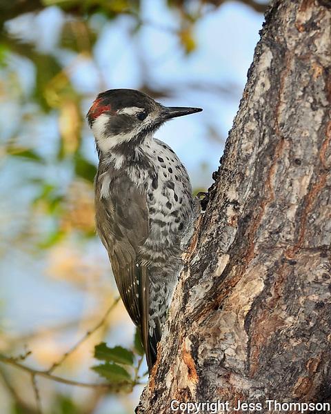 Arizona Woodpecker, Southeastern Arizona