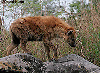 0213-08ss  Spotted Hyena, Laughing Hyena, Crocuta crocuta © David Kuhn/Dwight Kuhn Photography