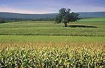 Corn field with lone tree