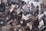 California sea lions, California