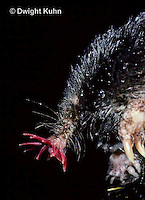 MB17-014x  Star-nosed Mole - resting on rock after a swim - Condylura cristata