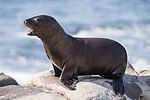 La Jolla, California; a California Sea Lion pup calls for its mother as it walks along the rocky shoreline in late afternoon sunlight