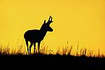 Pronghorn Buck at Sunrise