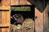 Juvenile raccoon.