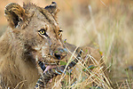 African Lion (Panthera leo) sub-adult male feeding on Puku (Kobus vardonii) prey, Kafue National Park, Zambia