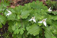 Trillium erectum forma albiflorum in white spring flowers, showing plant habit, with Aquilegia in bud and Sanguinaria foliage