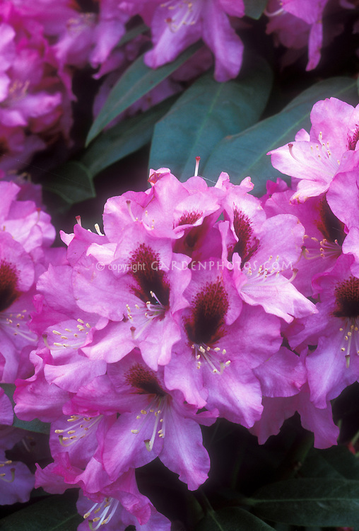 Rhododendron Wojnar's Purple spring flowering shrub with red blotch