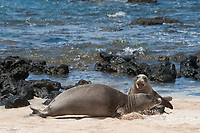 Hawaiian monk seals, Neomonachus schauinslandi, Critically Endangered endemic species; a 20+ year old male (R306), front, fights with a 5 year old male (RO36), rear, over access to females; west end of Molokai, Hawaii