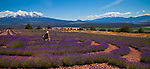 Lavender field labyrinth near Mt. Shasta, Northern California
