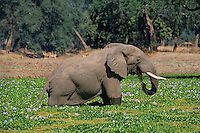 African Elephant feeding in pond covered with water Hyacinth (Loxodonta Africana) Africa.