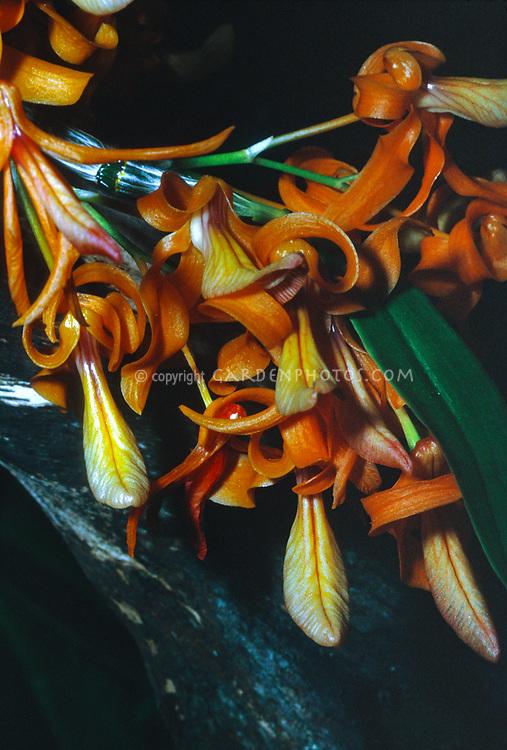 Dendrobium unicum, orchid species with orange flowers, miniature plant, fragrance