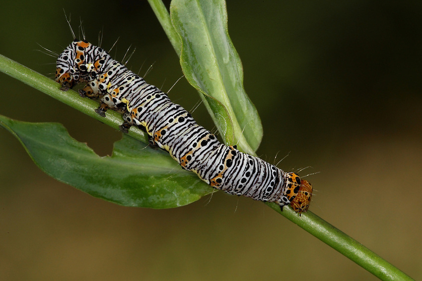 Eight-spotted Forester caterpillar from the Owlet Moth family.