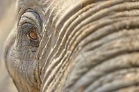 African Elephant (Loxodonta africana), adult, close-up of eye, Mana Pools National Park, Zimbabwe, Africa