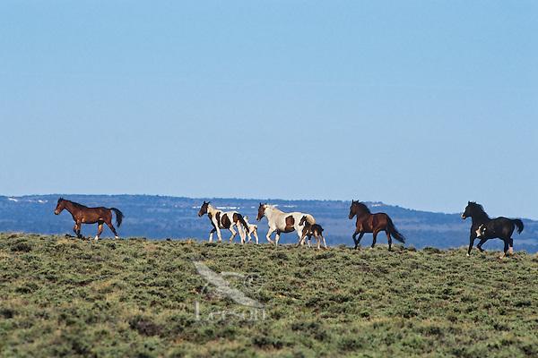 Wild Horses, Sheldon National Wildlife Refuge, Nevada.  June..(Equus caballus)