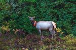 Collared female elk near Clam Lake in northern Wisconsin.