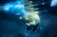 polar bear, Ursus maritimus, swimming underwater, Arctic Ocean