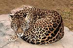 jaguar curled up on large boulder looking down