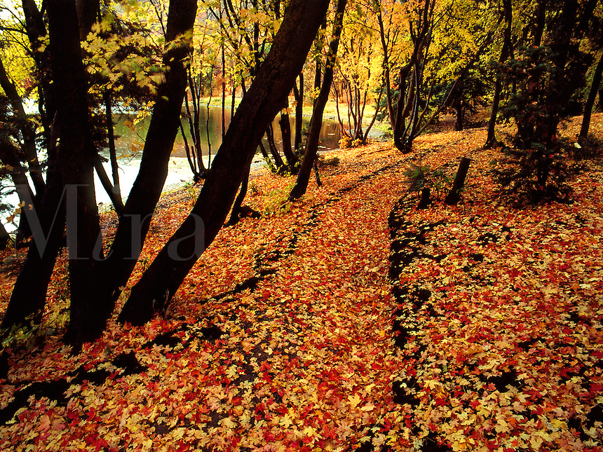Art in Nature 9409-0212 - The path around Maple Lake in Payson Canyon, surrounded by trees and covered by colorful fallen autumn leaves. Wasatch Range, Rocky Mountains, Utah.