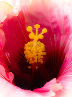 A close-up of a pink hibiscus flower with a yellow stamen on the Big Island.