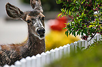 Deer graze at the Rinckel Mansion in Carson City, Nev., on Friday, May 3, 2019. <br /> Photo by Cathleen Allison/Nevada Momentum