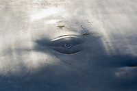 Sperm Whale Eye, Physeter macrocephalus, Caribbean Sea, Dominica, Atlantic