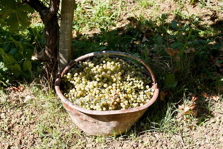 Raccolta dell'uva ai vigneti dei signori Franchini presso Montescano (Pavia) nell'Oltrepò Pavese. Cesta d'uva bianca --- Grape harvest at Franchini's vineyards near Montescano (Pavia) in the Oltrepò Pavese. Basket of white grapes
