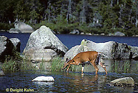 MA22-026z  White-tailed Deer - drinking from pond in Baxter State Park, Maine - Odocoileus virginianus