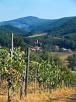 Grape vineyard, Panzano in Chianti, Ital