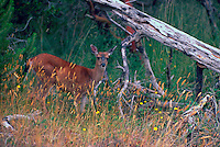 Black-tailed (Blacktail) Deer (Odocoileus columbianus) grazing in a West Coast Forest, Vancouver Island, BC, British Columbia, Canada