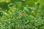 Cedar waxwing feeding in a Juneberry bush.