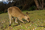Eastern Grey Kangaroo (Macropus giganteus) sub-adult grazing, Pebbly Beach, Murramarang National Park, New South Wales, Australia