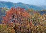 Great Smoky Mts. National Park, TN/NC<br /> Colors of new spring growth in the hardwood forest near Cherokee Orchard
