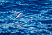 flying fish, Family: Exocoetidae, flying, White Island, North Island, New Zealand