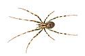 European Cave Spider (Meta menardi) photographed on a white background. Peak District National Park, Derbyshire, UK. August.