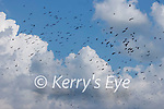 a Murder of crows during the Munster GAA Football Senior Championship Final match between Kerry and Cork at Fitzgerald Stadium in Killarney on Sunday.