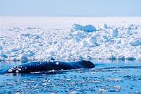 bowhead whale, Balaena mysticetus, in arctic ice, Baffin Island, Nunavut, Canada, Canadian Arctic