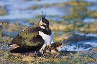 Northern Lapwing, Vanellus vanellus, adult with young, National Park Lake Neusiedl, Burgenland, Austria,Europe