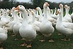 Free range geese Stud Farm Norh Kilworth Leicestershire UK