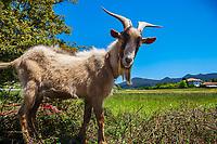 Goat. Busturia. Urdaibai Region. Bizkaia. Basque Country. Spain.