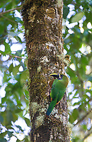 Some experts still consider this to be a subspecies of the Emerald toucanet.