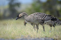 Juvenile Nene or Hawaiian Goose (Branta sandvicensis) foraging. The Nene evolved from the Canada Goose, which likely migrated to the Hawaiian islands 500,000 years ago, shortly after the island of Hawaiʻi was formed. It is the world's rarest goose. Hawaii. April.