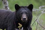 WILDLIFE / Bears - Black Bear Photography