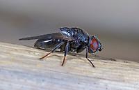 Schilfgallenfliege, Schilfgallen-Fliege, Halmfliege, Lipara lucens, frit fly, grass fly, Halmfliegen, Chloropidae, frit flies, grass flies
