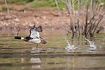 Lake Hodges, Escondido, San Diego, California; an adult, male Red-breasted Merganser (Mergus serrator) with breeding plumage, taking flight from Lake Hodges